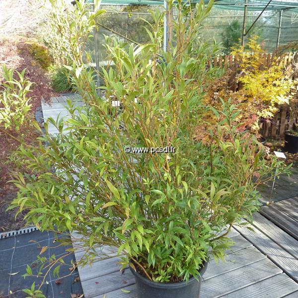 Sarcococca ruscifolia var. chinensis C25L 80/100