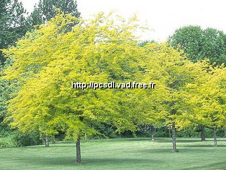 Gleditsia triacanthos f. inermis \'Sunburst\' 80/100 C4L
