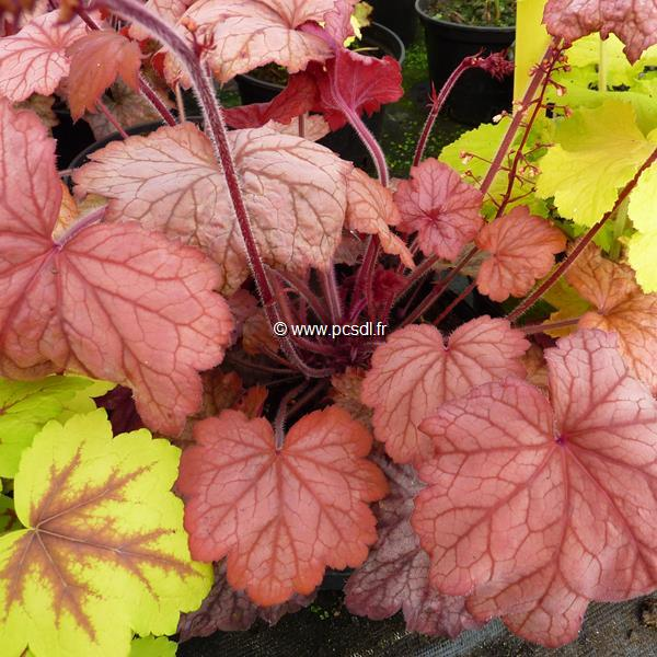 Heuchera \'Georgia Peach\' C3L