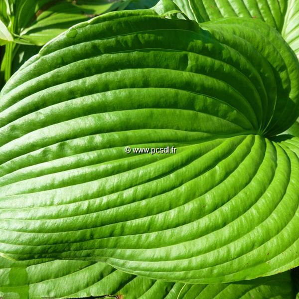 Hosta \'Devon Green\' C3L