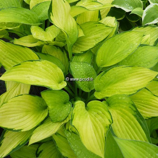 Hosta fortunei \'Gold Standart\' C3L