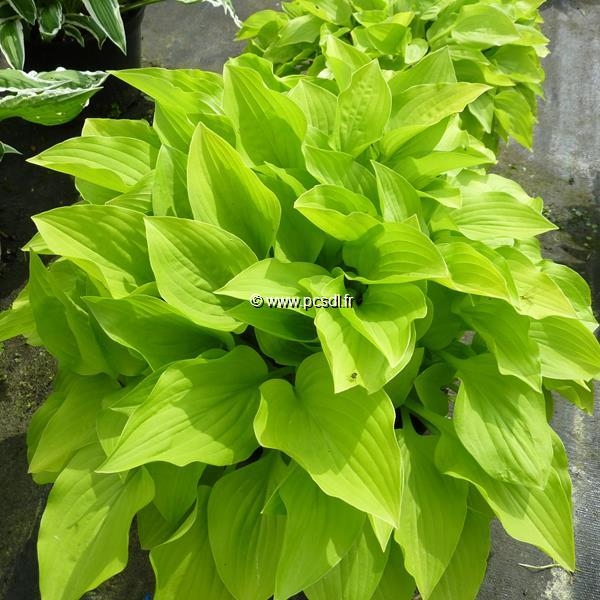 Hosta \'Wogon Gold\' C3L