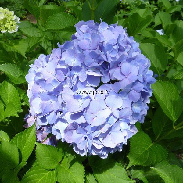 Hydrangea macrophylla \'Enziandom\' C4L 20/40