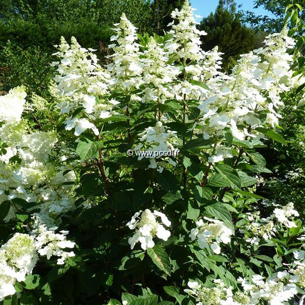 Hydrangea paniculata \'Mathilde\' C4L 40/60