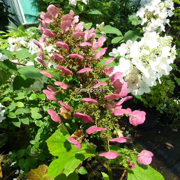 Hydrangea quercifolia \'Amethyst\' C4L 40/60