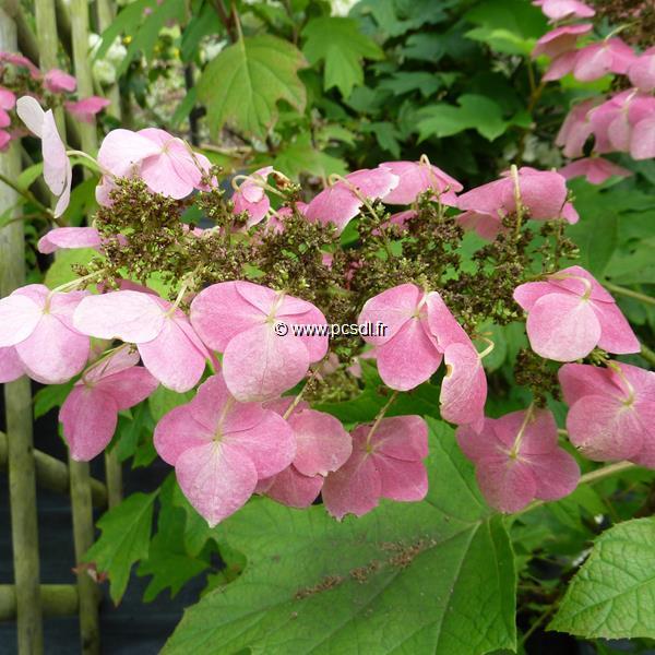 Hydrangea quercifolia \'Back Porch\' C10L 80/100