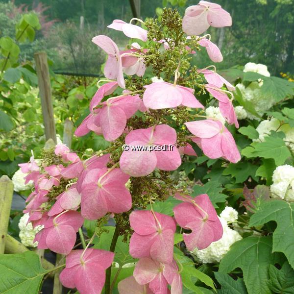 Hydrangea quercifolia \'Back Porch\' C4L 40/60
