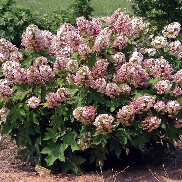 Hydrangea quercifolia \'Munchkin\' 30/40 C3L