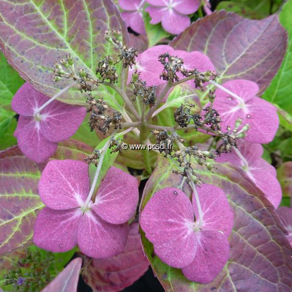 Hydrangea serrata \'Ganku Bokanse\' 20/40 C4L