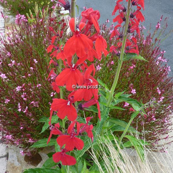 Lobelia x speciosa \'Kompliment Tiefrot\' C3L