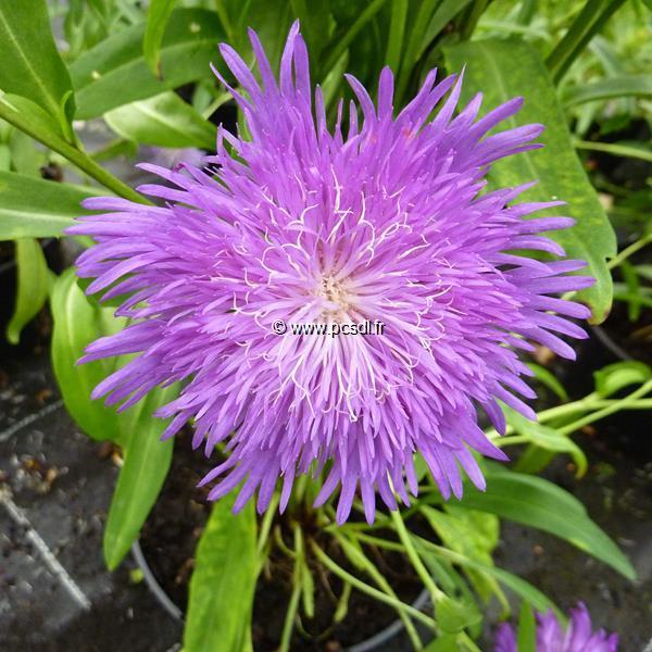 Stokesia laevis \'Purple Parasols\' C3L
