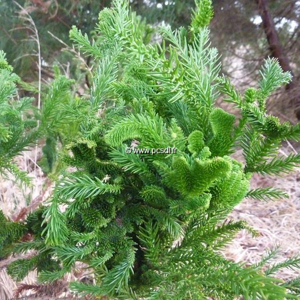 Cryptomeria japonica \'Cristata\' C4L 40/60