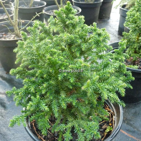 Cryptomeria japonica \'Vilmoriniana\'