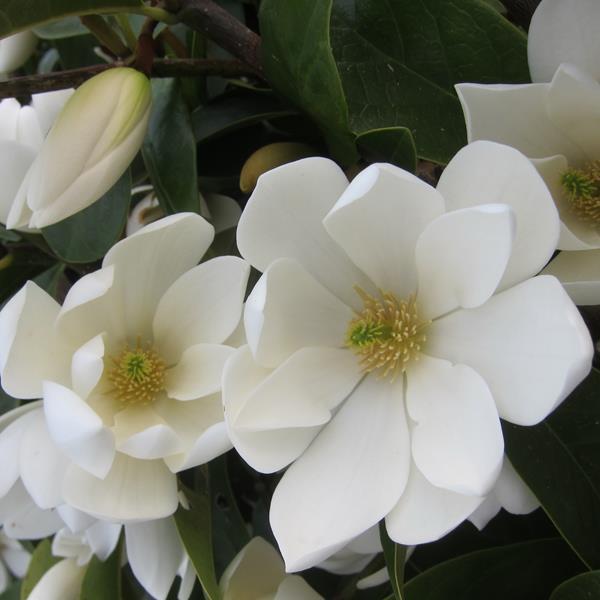 Magnolia \'Fairy Cream\' ® C4L 100/125