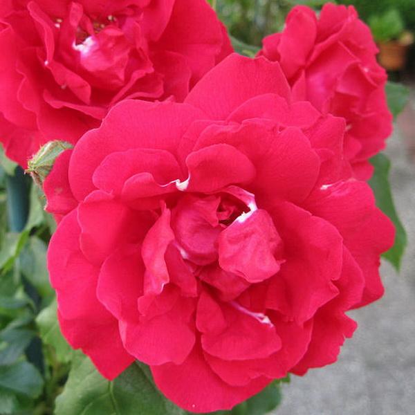 Rosa \'That\'s Jazz\' ® C4L 80/100
