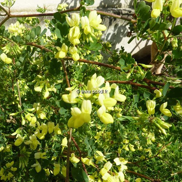 Coronilla valentina ssp. glauca \'Citrina\' 30/40 C3L