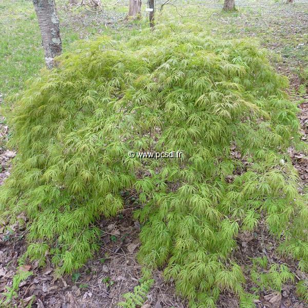 Acer palmatum \'Dissectum\' tige