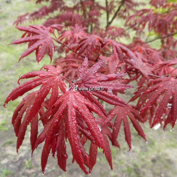 Acer palmatum \'Trompenburg\' C5L 40/60