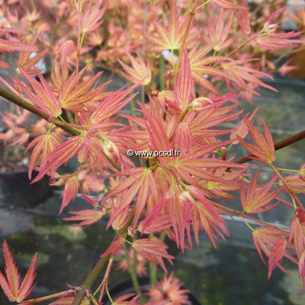 Acer palmatum \'Wilson\'s Pink Dwarf\' C4L 60/80