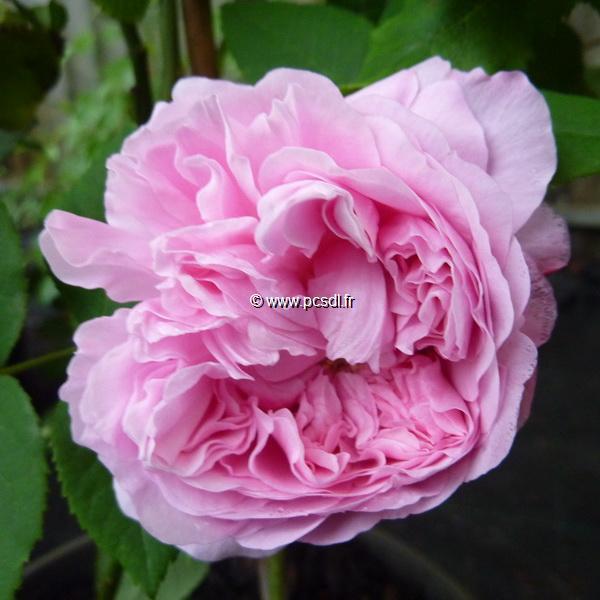 Rosa \'Jacques Cartier\' 40/50 C4L
