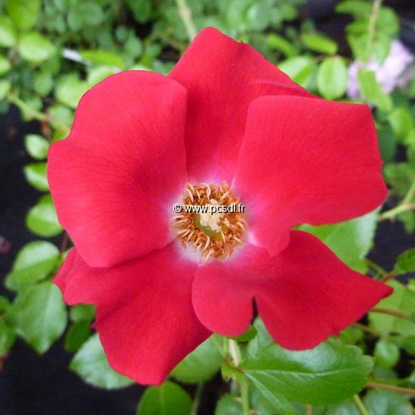 Rosa \'Sommerabend\' ® 40/50 C4L