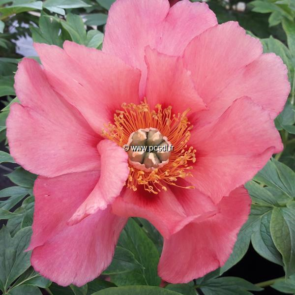 Paeonia x itoh \'Old Rose Dandy\' C3L