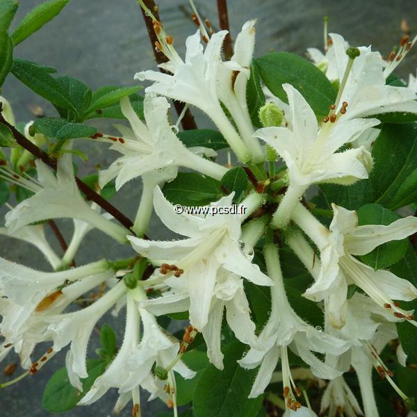 Rhododendron (azalée caduque) \'Fragrant Star\' C7L 60/80