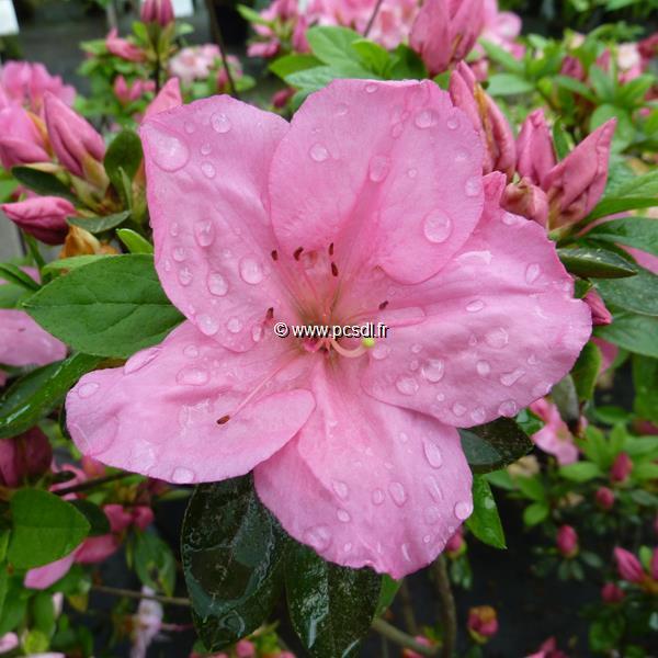 Rhododendron (azalée persistante) \'Greenway\'