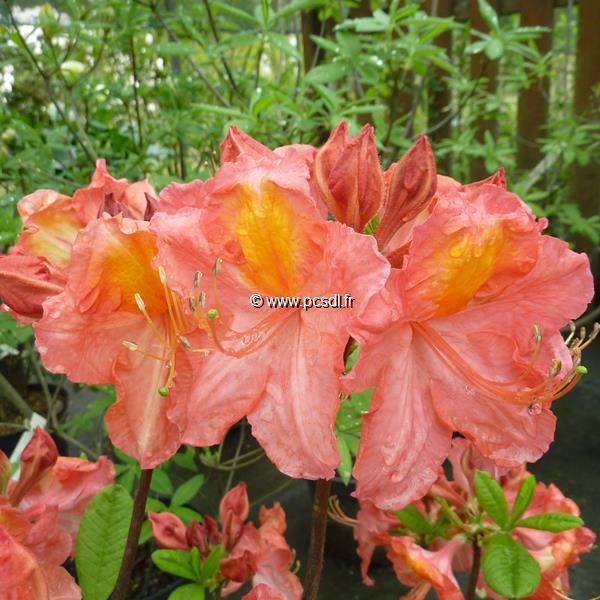 Rhododendron (azalée caduque) \'Juanita\' C4L 60/80