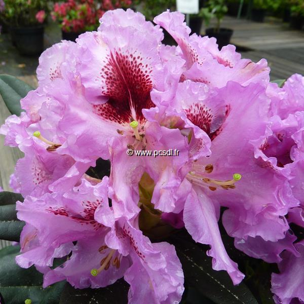 Rhododendron x \'Kabarett\' ® C5L 40/50