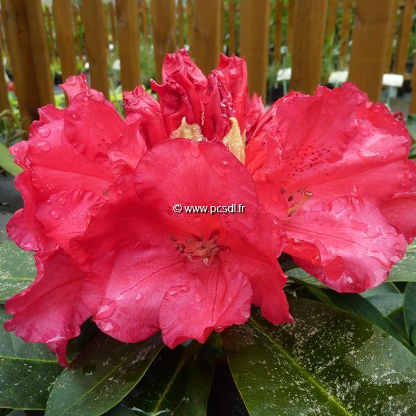 Rhododendron x \'Markeeta\'s Prize\' 40/50 C4L