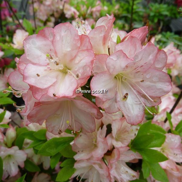Rhododendron (azalée persistante) \'Peggy Ann\'