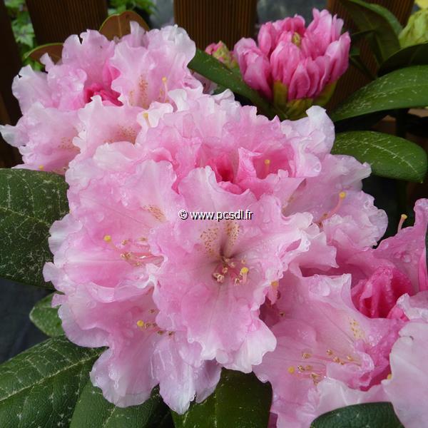Rhododendron x yakushimanum \'Doc\' C4L 30/40