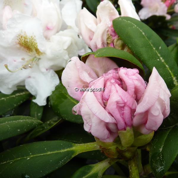 Rhododendron x yakushimanum \'Porzellan\' C4L 30/40