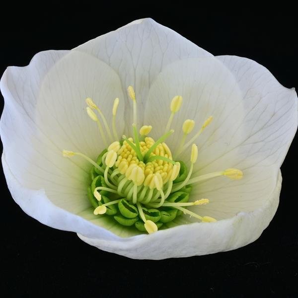 Helleborus orientalis blanc simple C3L