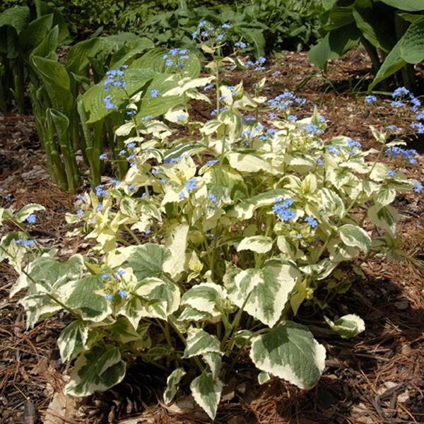 Brunnera macrophylla \'Hadspen Cream\' C3L