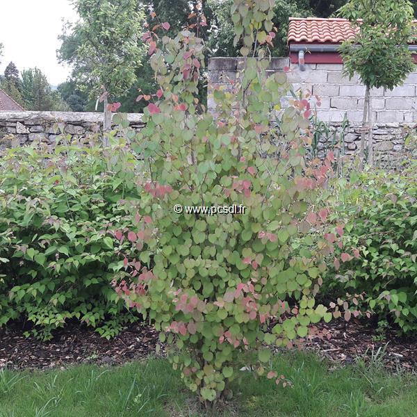 Cercidiphyllum japonicum C4L 125/150