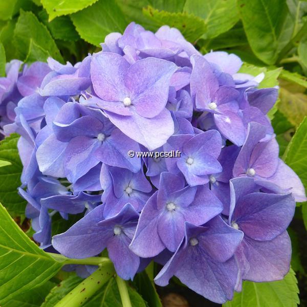 Hydrangea macrophylla \'Anda\' ® C4L 20/40