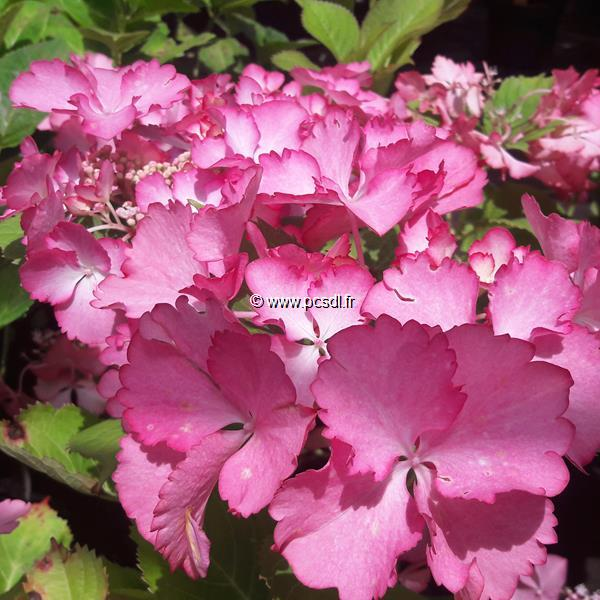Hydrangea macrophylla \'French Cancan\' ® 20/40 C4L
