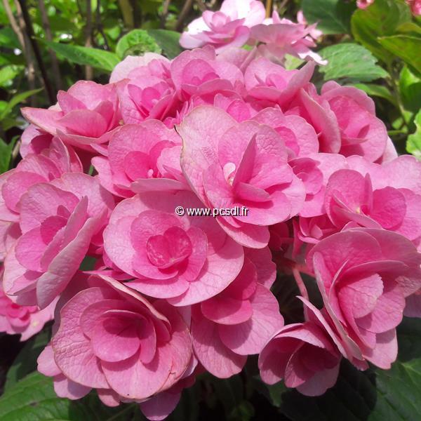 Hydrangea macrophylla \'Papillon\' ® C4L 20/40