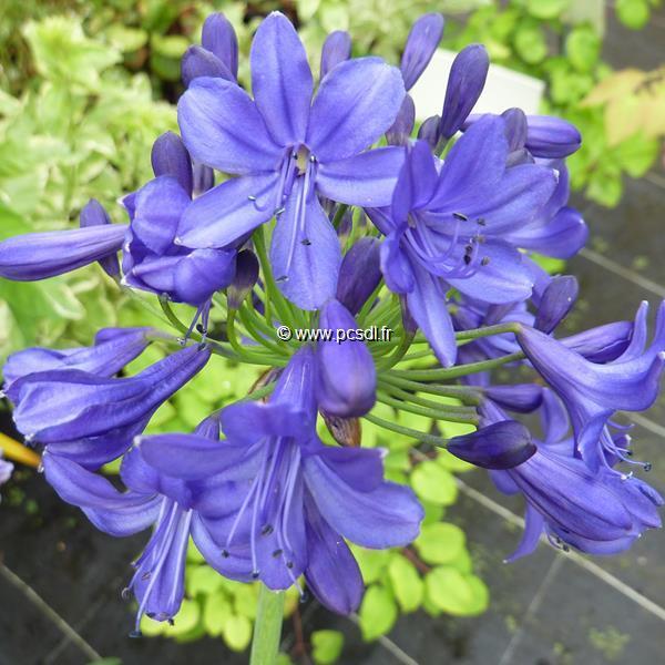 Agapanthus \'Navy Blue\' C3L