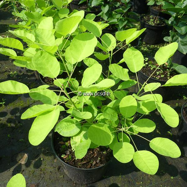 Cotinus coggygria \'Golden Lady\' ® C4L 40/50