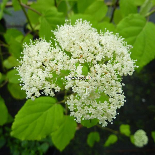 Hydrangea hirta var. albiflora C4L 40/50
