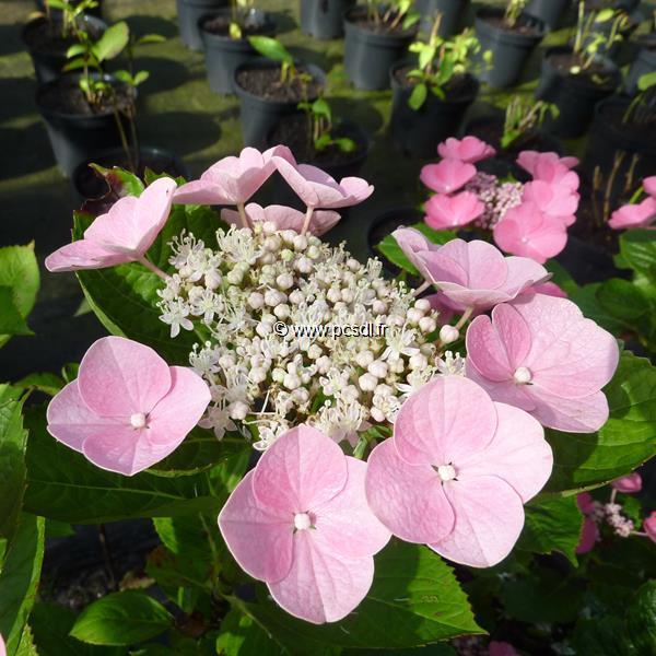 Hydrangea macrophylla \'Beijing\' ® C4L 20/40