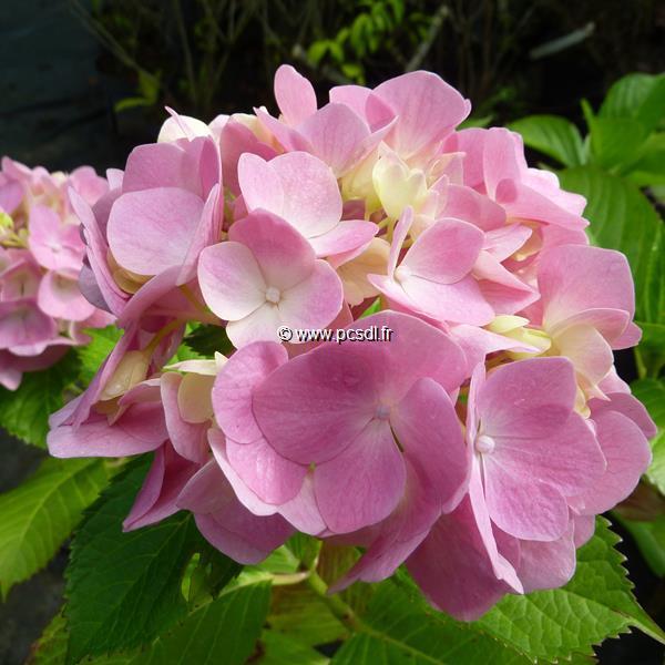 Hydrangea macrophylla \'Générale Vicomtesse de Vibraye\' C4L 20/40