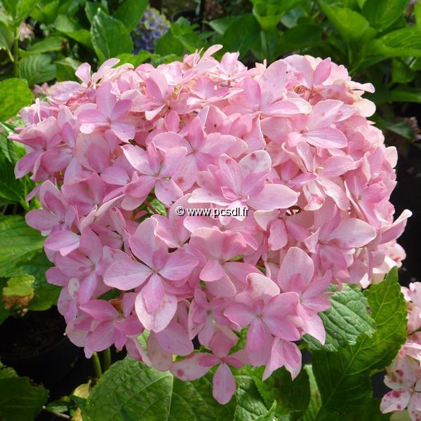 Hydrangea macrophylla (you&me) \'Inspire\' ® C4L 20/40