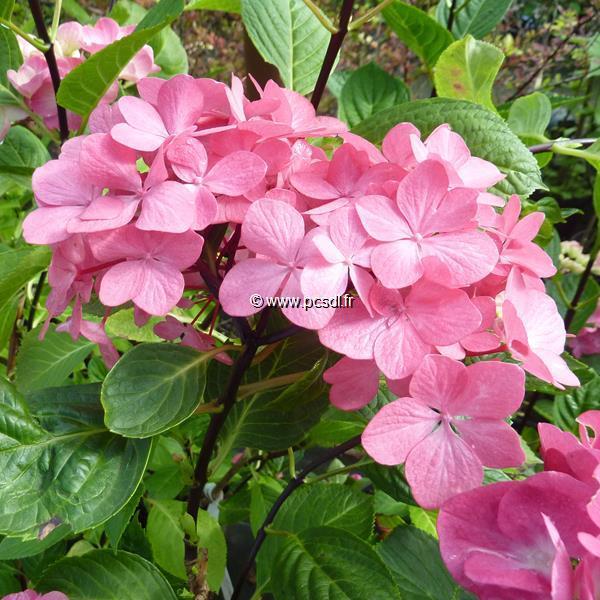 Hydrangea macrophylla \'Oregon Pride\' ® C4L 20/40