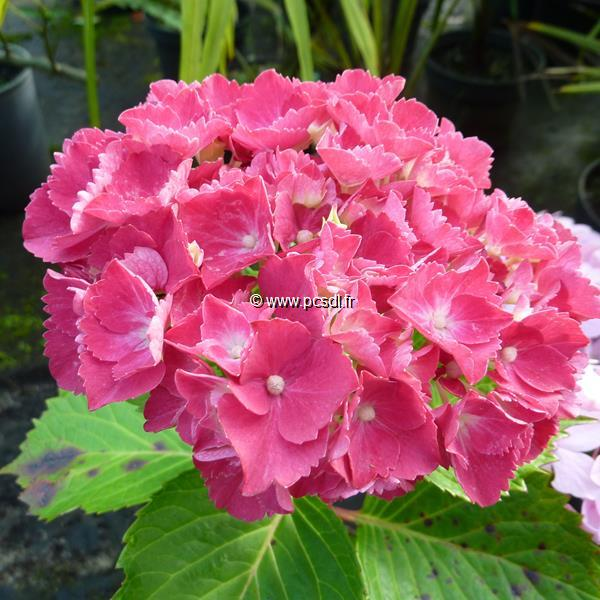 Hydrangea macrophylla \'Red Wonder\' C4L 20/40