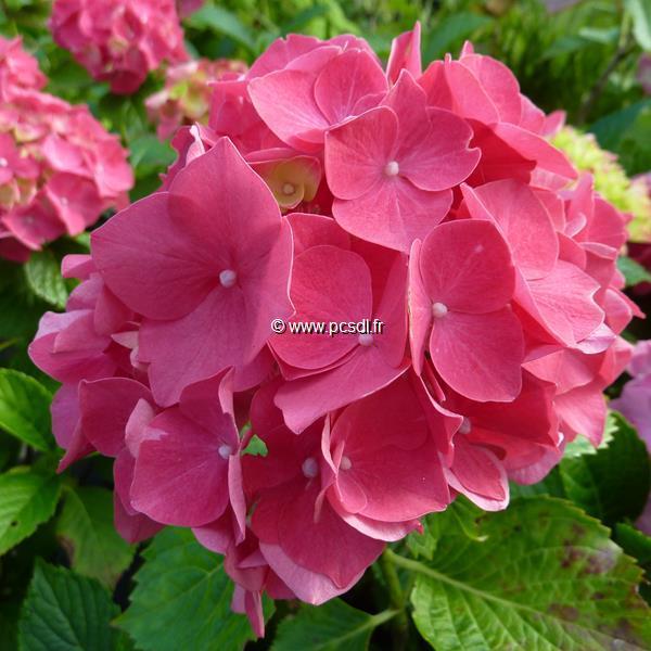 Hydrangea macrophylla \'Satinette\' C4L 20/40