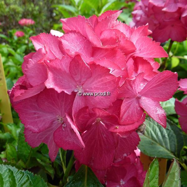 Hydrangea macrophylla \'Selma\' ® C4L 20/40